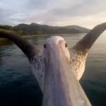 Hvordan ser verden ut for en pelikan?